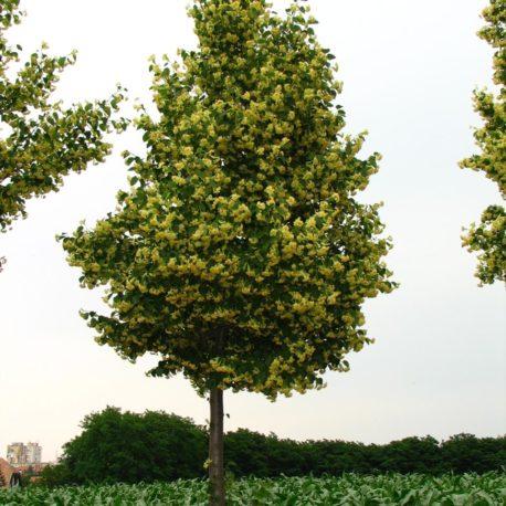 Rendkívül gazdag virágzású és egyben kifejezetten kis növésű hárs fajta.