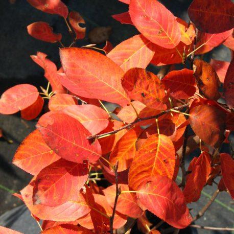 Amelanchier lamarckii ősz