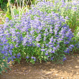Caryopteris x 'Grand Child'
