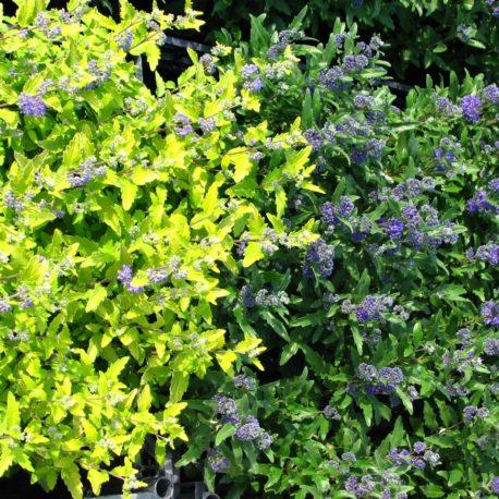 Caryopteris 'Margold' és Grande Bleu'