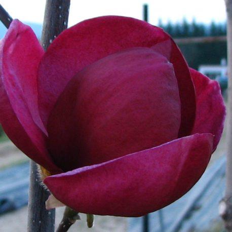 Csodálatos , kívül . belül  sötét bordó magnolia újdonság, mely elképesztő gazdágságban évente akár három hullámban is virágzik.
