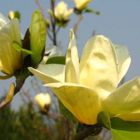 nagy, korai virágzású sárga Magnolia