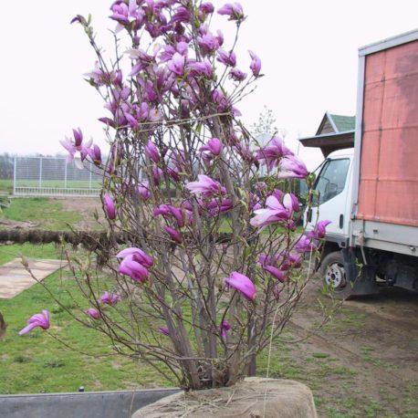 Magnolia  'Susan' 150-175 arányos földlabdában