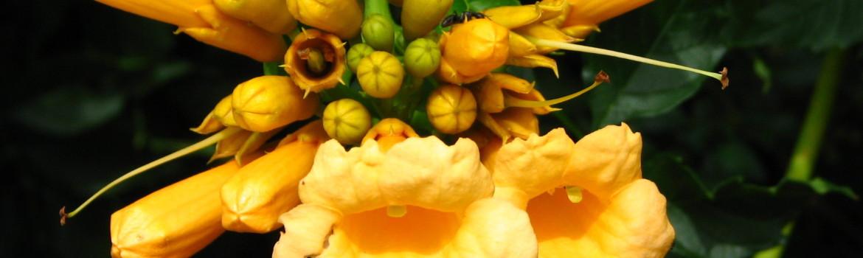Campsis  'Yellow Trompette'