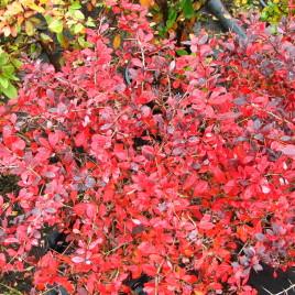Berberis X 'Red Juwel' – ékszer borbolya