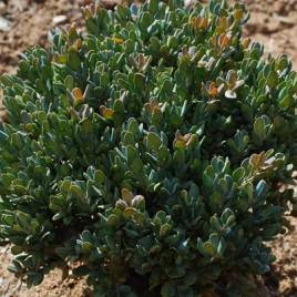 Buxus  rugulosa v.intermedia – nagyon -nagyon törpe, buxus különlegesség!