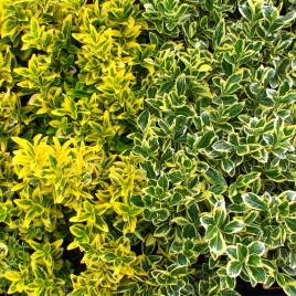 Euonymus fortunei – kúszó kecskerágó fajták