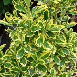 Euonymus japonica 'Bravo' – tarka levelű japán kecskerágó