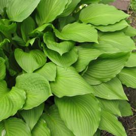 Hosta undulata 'Erromena' – árnyliliom