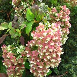 Hydrangea quercifolia 'Snowflake' – telt virágú tölgylevelű hortenzia