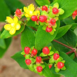 Hypericum innodorum 'Magic red' – piros bogyós orbáncfű