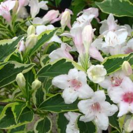 Weigela  x  'Nana Variegata ' – tarka levelű rózsalonc