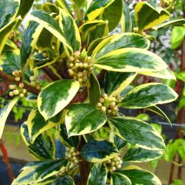 Ilex aquifolium 'Golden King' –  aranytarka magyal