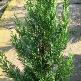 x Cupressocyparis leylandii 'Green Rocket' – oszlopos, leyland ciprus