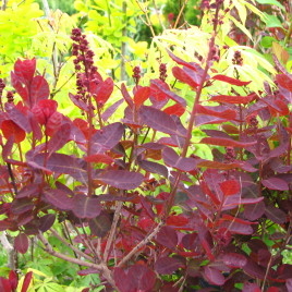 Cotinus coggygria 'Royal Purple' – bíbor levelű cserszömörce