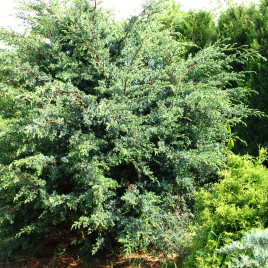 Juniperus chinensis 'Blue Alps'-  kinai boróka