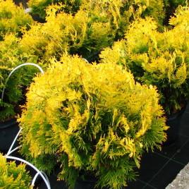 thuja occidentalis 'Lorelei' – arany , nyugati tuja