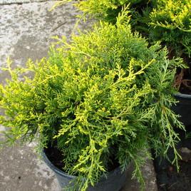Juniperus chinensis 'Savaria Gold' –  arany terülő boróka