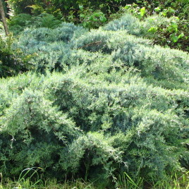 "Juniperus chinensis 'Blue Cloud' – ""kék felhő"" boróka"