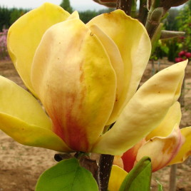 Magnolia x  'Sunsation' – sárga liliomfa  ÚJDONSÁG!