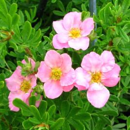 Potentilla  x 'Lovely Pink' – cserjés pimpó