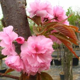 Prunus serrulata 'Kansan' –  japán díszcseresznye