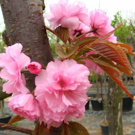 Prunus serr. 'Kanzan'