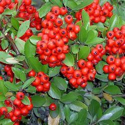 Pyracantha x 'Red Chusion' – kis növésű tűztövis
