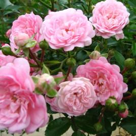 """Rosa x 'The Fairy' – rózsa """"a tündéri"""""""