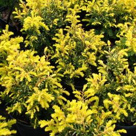Taxus baccata 'Sommergold' – arany lombú , terülő tiszafa
