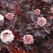 Physocarpus opulifolius Atropurpurea' – vörös levelű hólyagvessző