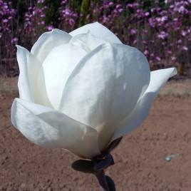 Magnolia denudata  'Yulan' –  liliomfa