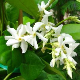 Trachelospermum  jasminoides – örökzöld csillagjázmin