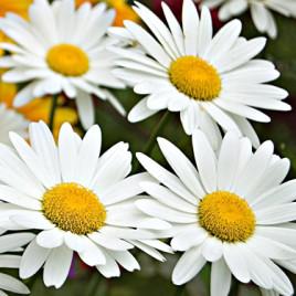 Leucanthemum x superbum 'Becky' –  Shasta hibrid margaréta