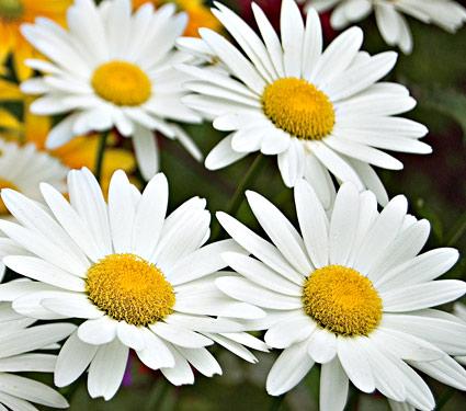 Leucanthemum  x superbum 'Becky' .