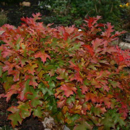 Quercus palustris Green Dwarf bokor