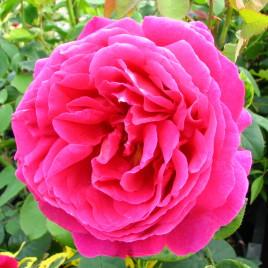 Rózsa x 'Auslo'  – régi angolrózsa