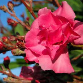 Nerium oleander – leander , telt rószaszín