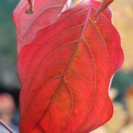 Cornus cousa v. chinensis –  kinai csillagsom