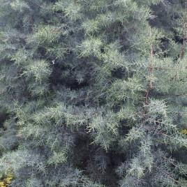 Cupressus glabra v. arizonica 'Glauca Fastigiata' – oszlopos ,kék, arizóniai ciprus