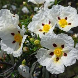 Cistus ladanifer – balzsamos szuhar
