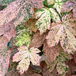 Acer pseudoplatanus 'Escimo Sunset' –  pettyegetett hegyi juhar