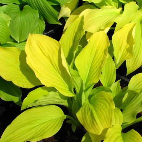 Hosta  x 'Gold Samurai'
