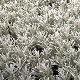 Lavandula X chaytorae 'Molten Silver' –  ezüst levelű hibrid levendula