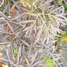 Sambucus nigra 'Black Lace' – Bordó, szeldelt levelű bodza