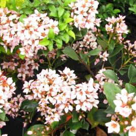"""Raphiolepis x delacourii 'Coates Crimson' – rózsaszín hibrid """" indián"""" galagonya"""