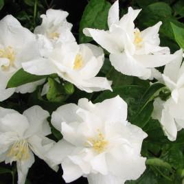 Phyladelphus x 'Naches '  – Nagy virágú, telt jezsamen (áljázmin)