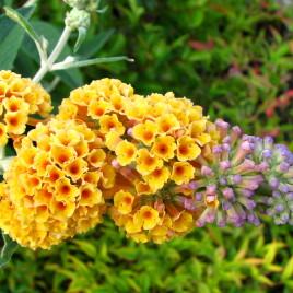 Buddleia x Sungold' – sárga virágú nyári orgona