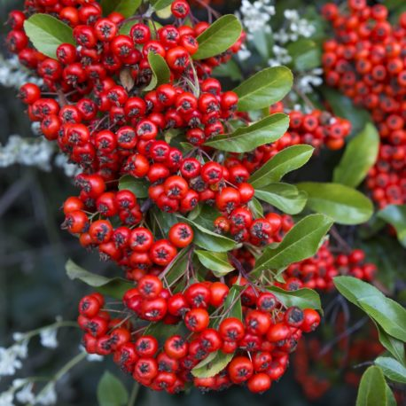 Pyracantha Darts Red 2