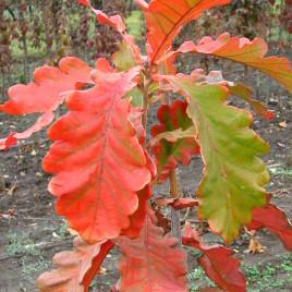 Quercus dentata – császár tölgy  ÚJDONSÁG!